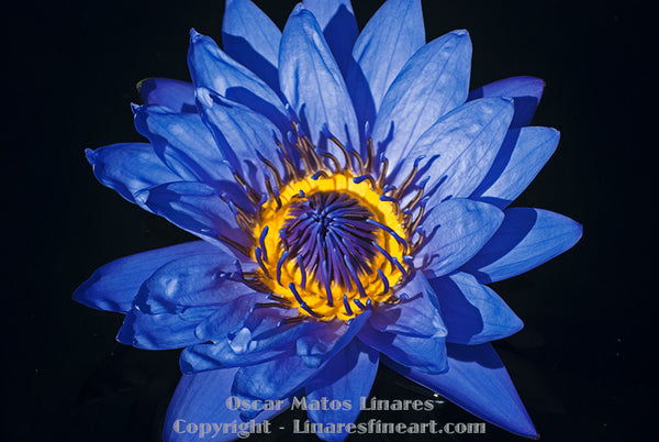 """Blue Water Lily #3"" - Botanical Art"