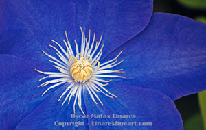 """Blue with White Center"" - Botanical Art"