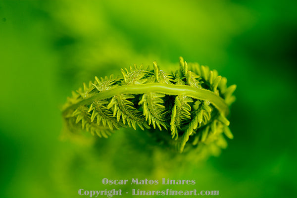 """Fiddlehead"" - Botanical Art"
