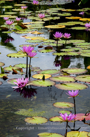 """Garfield Park Water Lily Pond"" - Botanical Art"