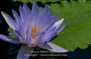 """Pale Blue Water Lily"" - Botanical Art"