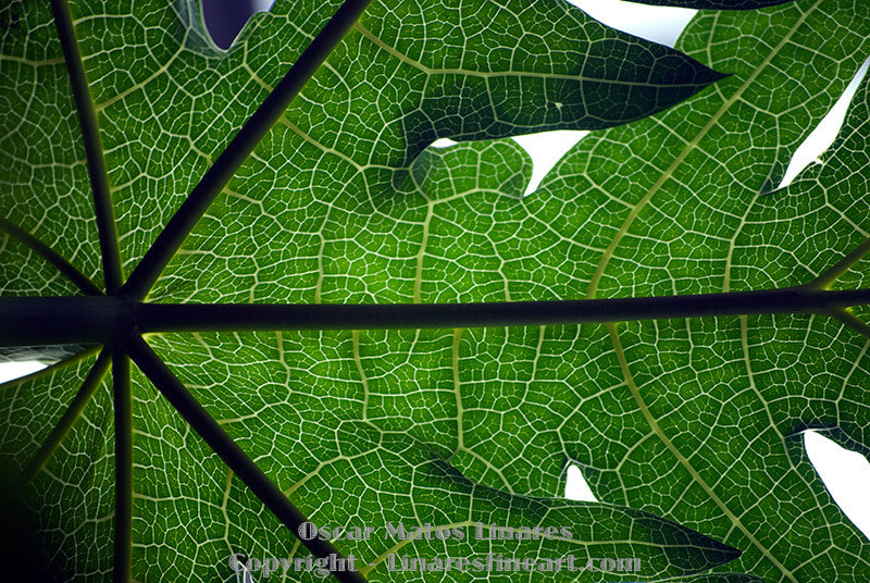 """Papaya Leaf"" - Botanical Art"