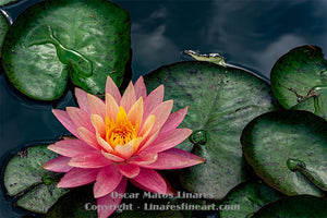 """Pink Water Lily #5"" - Botanical Art"