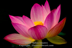 """When There is No Hope and Nothing to Hope For"" (Pink Lotus 2) - Botanical Art"
