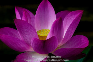 """At Peace, Pink Lotus"" - Botanical Art"