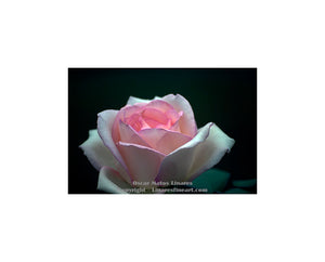 """Pink Rose"" - Botanical Art"