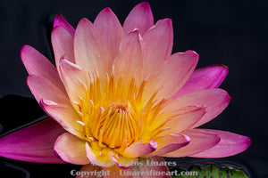 """Pink Water Lily"" - Botanical Art"