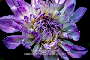 """Rejoice (Purple and White Dahlia)"" - Botanical Art"