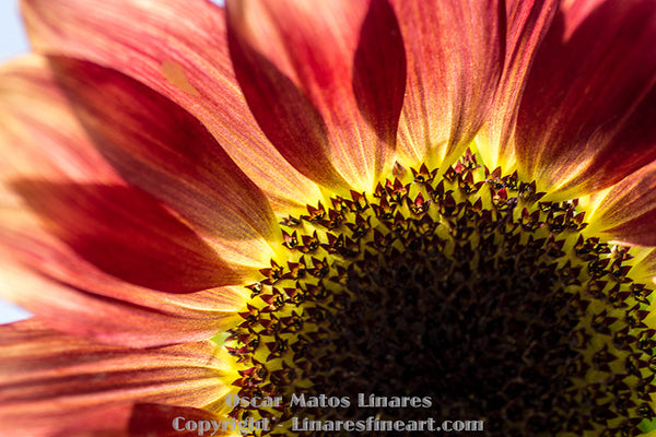 """Red Sunflower"" - Botanical Art"