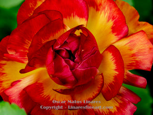 """Red and Yellow Inspiration"" - Botanical Art"