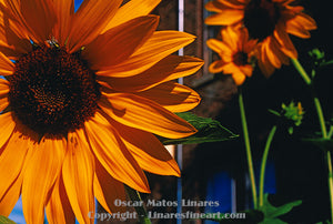 """Urban Sunflowers"" - Botanical Art"