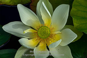 """White Lotus"" - Botanical Art"