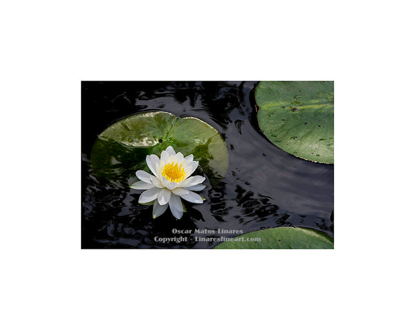 White Water Lily at Humboldt Park