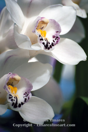 """White and Purple Orchids"" - Botanical Art"