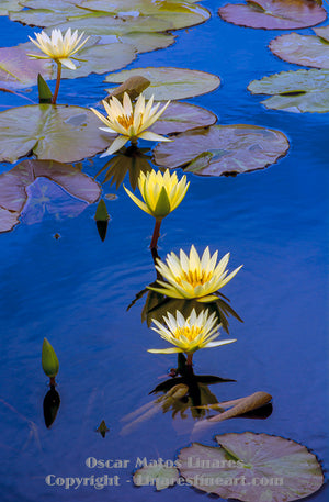 """Yellow Water Lily Pond"" - Botanical Art"