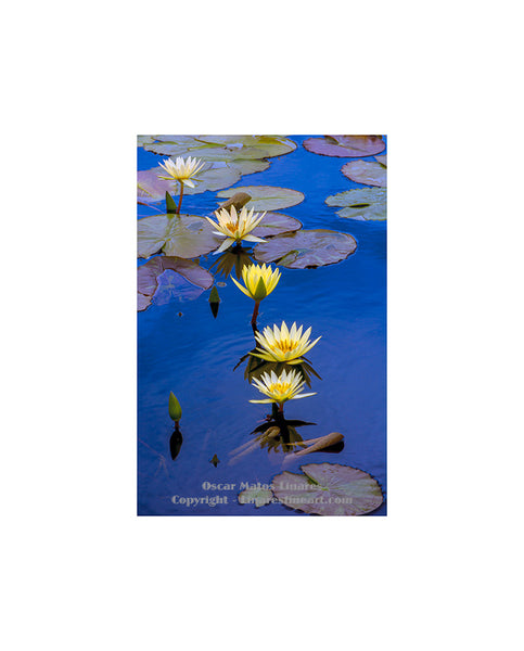 Yellow Water Lily Pond