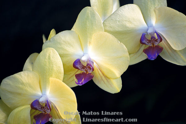"""Yellow and Purple Orchids"" - Botanical Art"