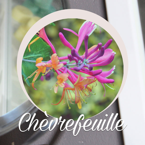 Chèvrefeuille