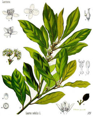 Essential Oil of the Day: Bay Laurel
