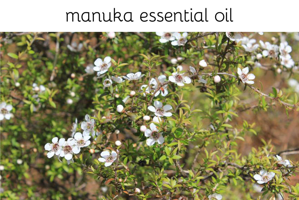 NZ grown manuka, anti-bacterial and anti-fungal. The strongest antimicrobial of all the tea tree family. - Sweet Cheeks NZ
