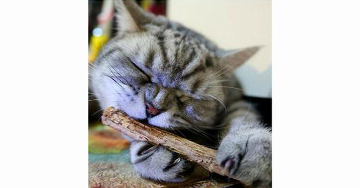 Matatabi Cat Catnip Sticks