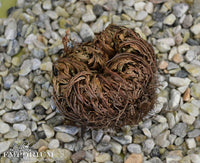 Rose of Jericho - resurrection plant