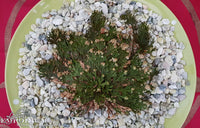 Rose of Jericho - Australia