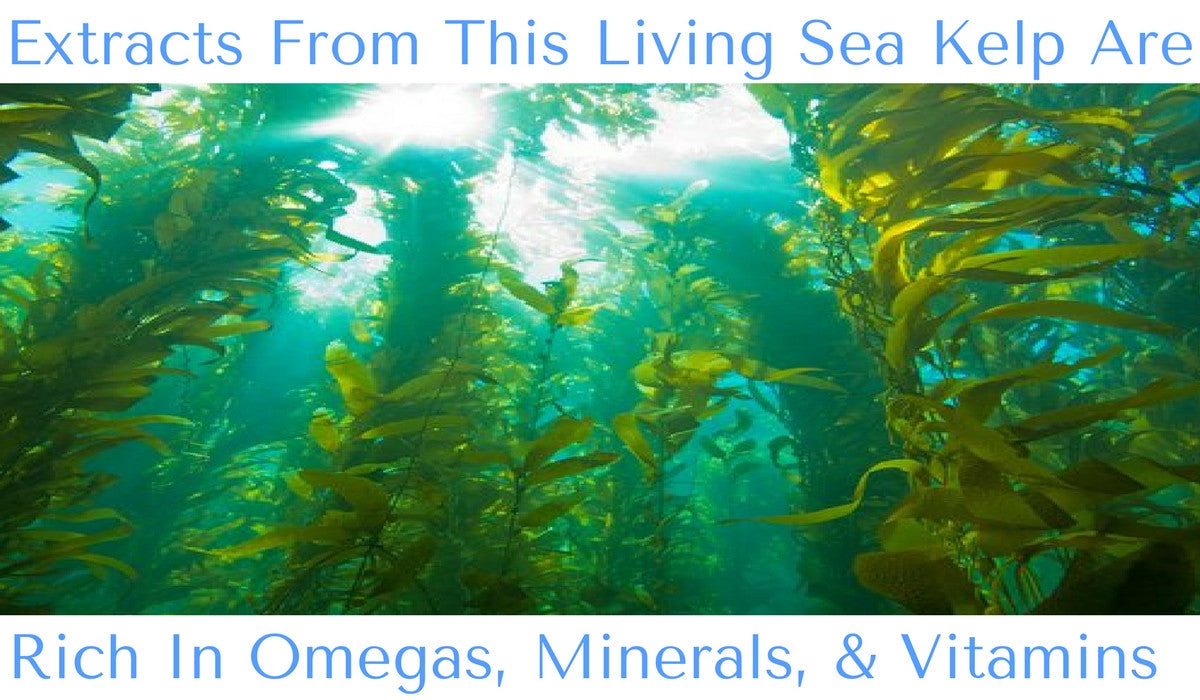 SeaQuarius Sea Kelp Omega Rich Nutrition