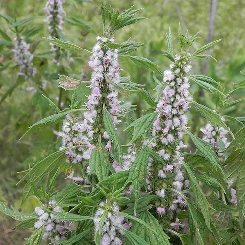 Favorite Essence #2 - Motherwort