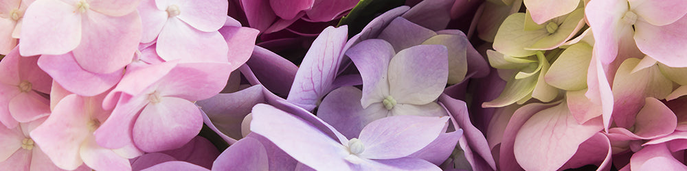 Assorted Colors Painted Hydrangeas