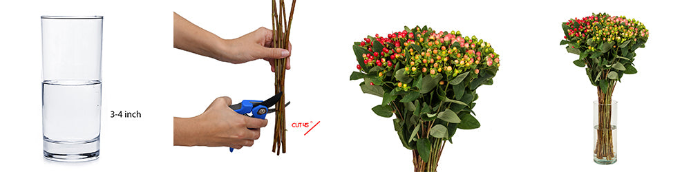 Hypericum Care and Handling Guide