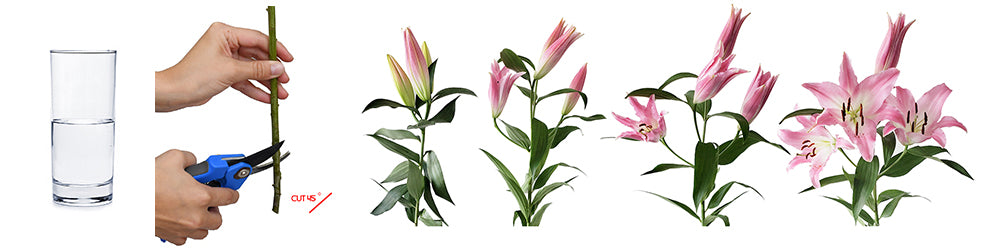 Pink LA Hybrid Lilies Care and Handling