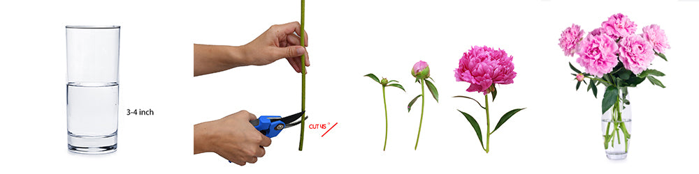 Peonies Care and Handling Guide