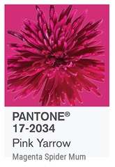 PINK YARROW PANTONE OF THE YEAR 2017