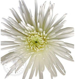 white spider mum, wholesale mums