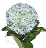 mint colored hydrangeas, wholesale