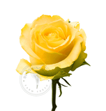 wholesale yellow roses