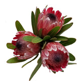 Pink Ice Protea