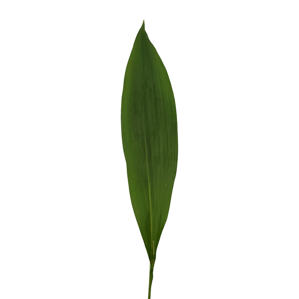 Aspidistra Green - 150 Stems