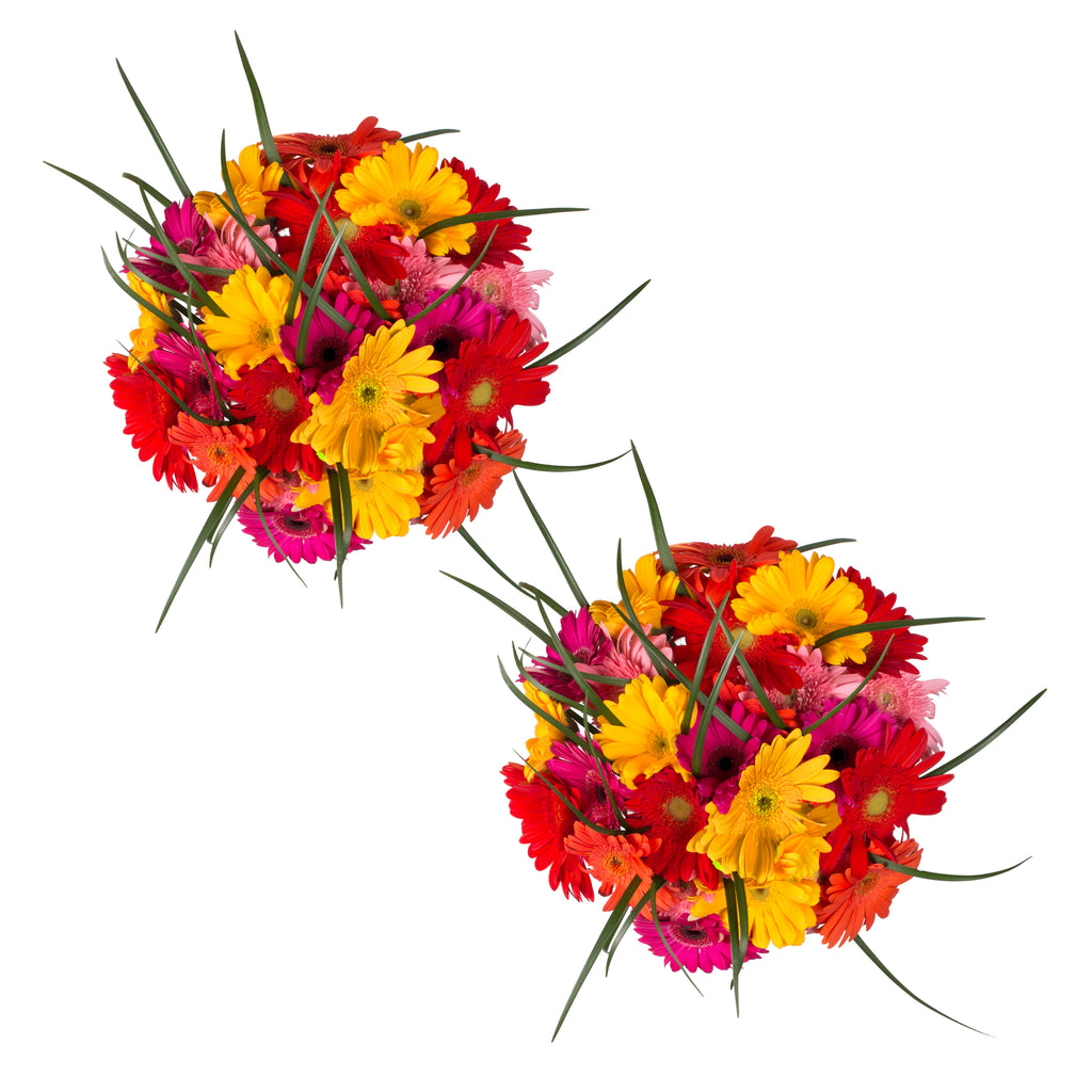 Rainbow Gerbera Bouquet - 31 Stems  - 2 Pack