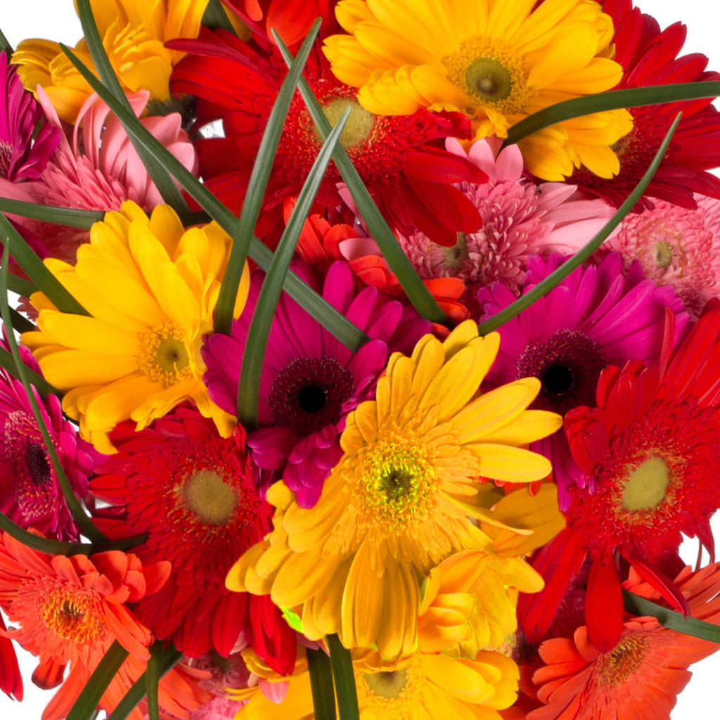 Rainbow Gerbera Bouquet - 4 Pack
