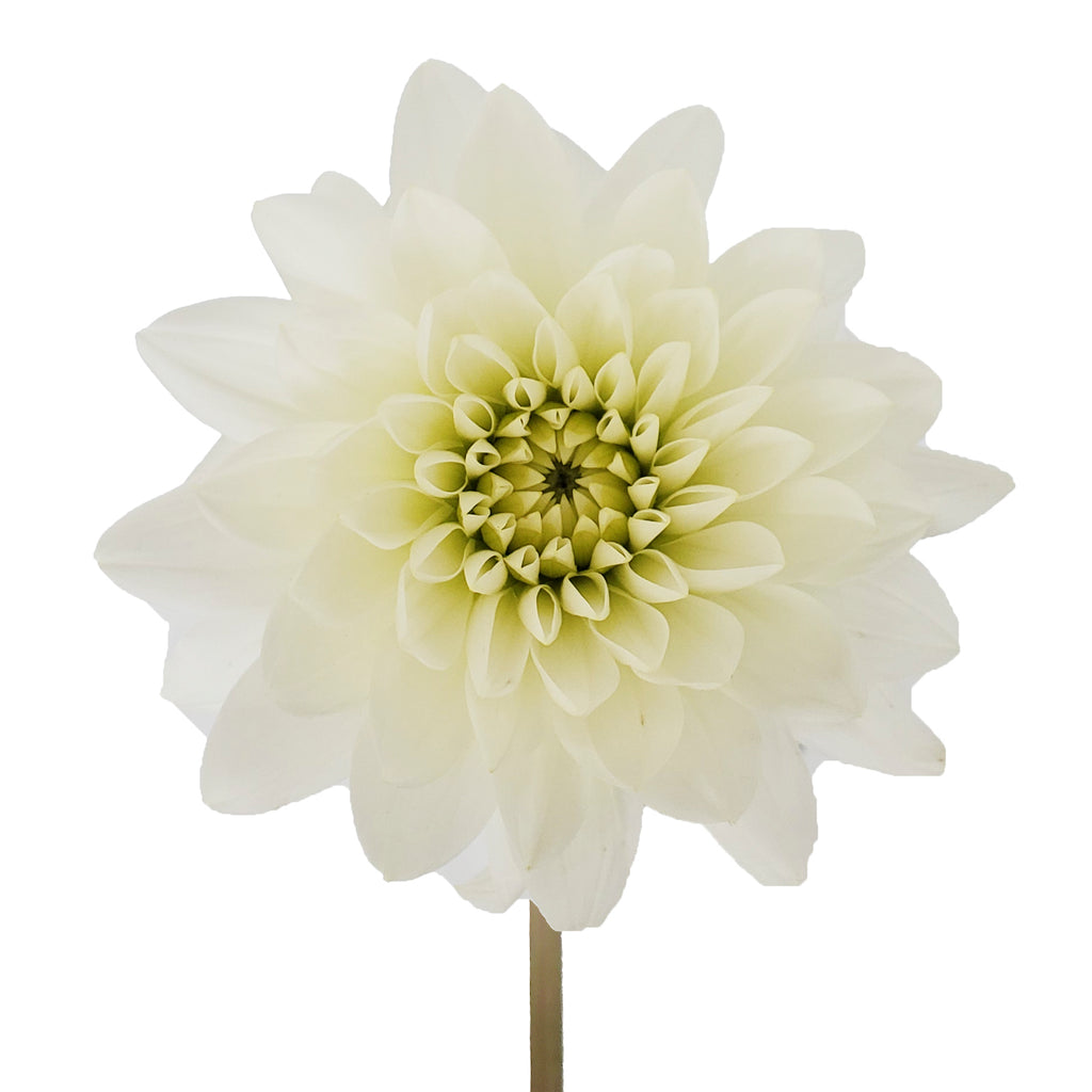 Dahlias White