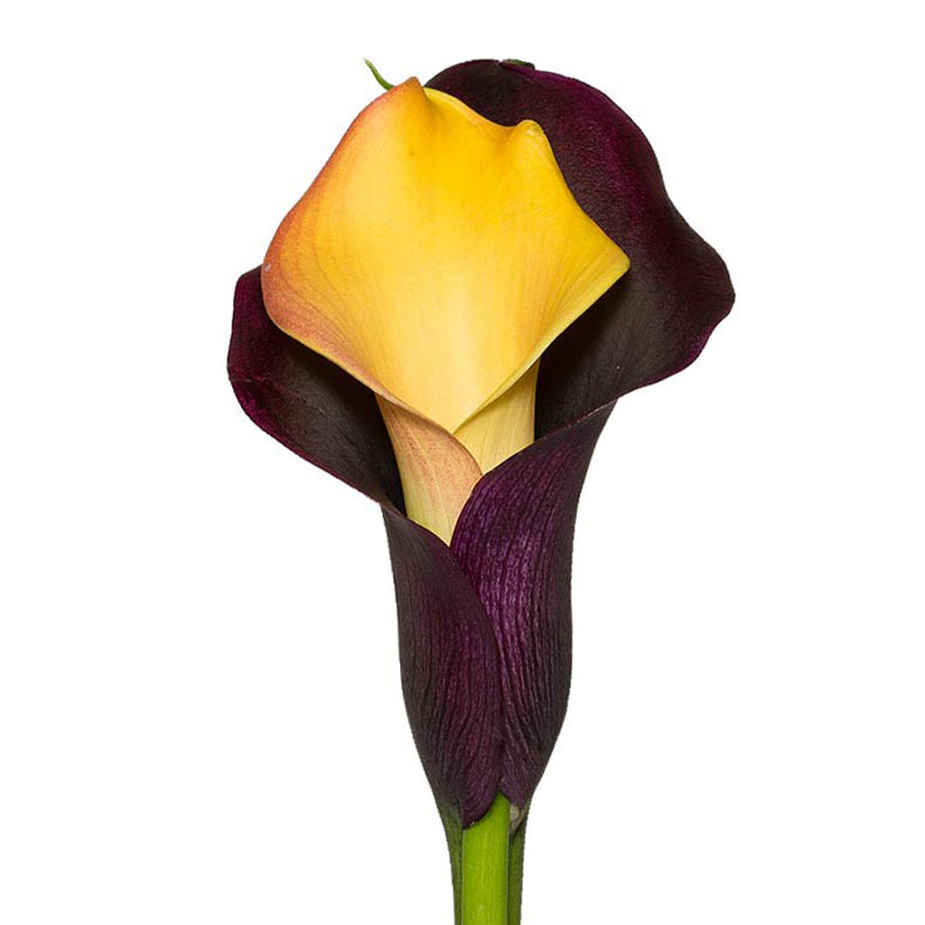 Yellow & Black Double Calla Lilies
