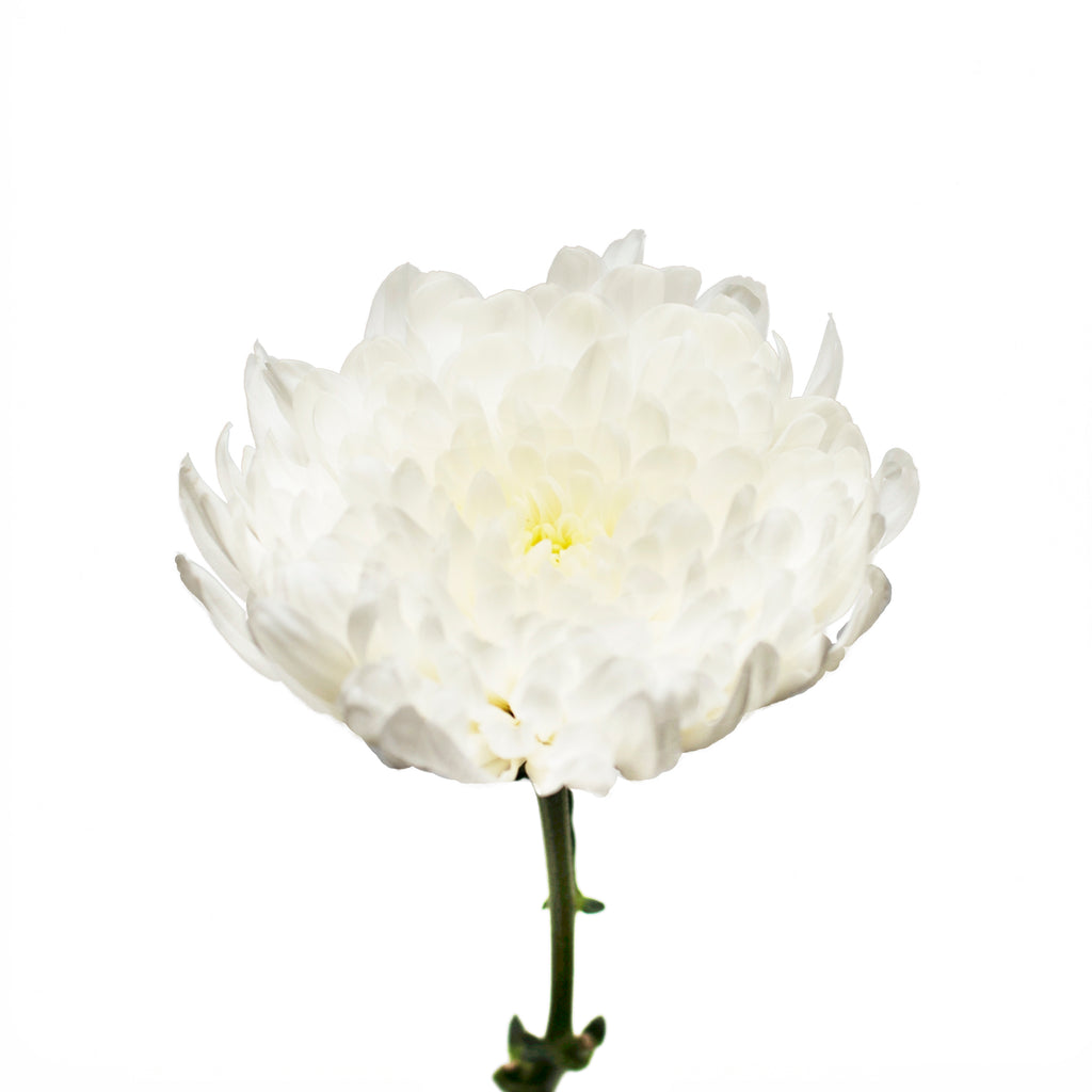 White Natural Disbud Cremon Mums