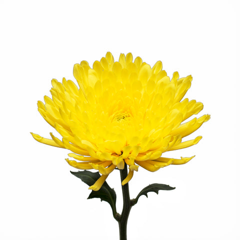 Pompom Daisies - Natural Yellow