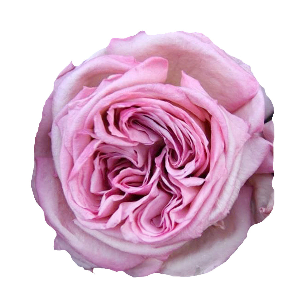 Freeze Dried Pink Ohara Garden Roses