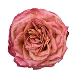 Freeze Dried Sunset Garden Roses