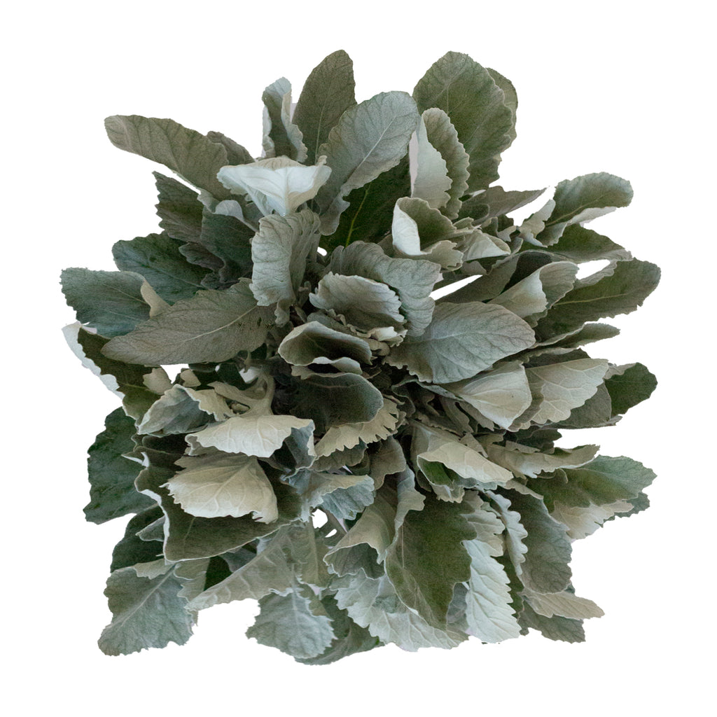 Dusty Miller Broadleaf