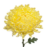 Yellow Natural Football Mums
