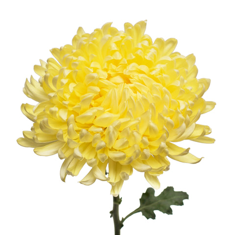 Shop wholesale bulk chrysanthemums bloomingmore yellow natural football mums mightylinksfo
